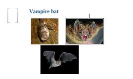 Copy of The Vampire Bat