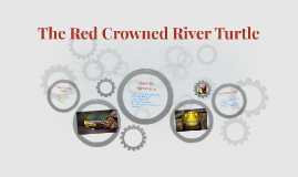 The Red Crowned River Turtle
