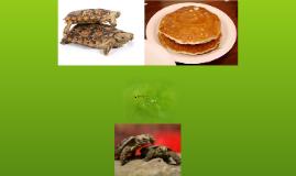 The Pancake Tortoise