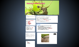 Copy of Malasyian Walking Stick