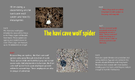 the Kavi cave wolf spider