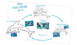 life cycle of a dolphin 2 by chelsea tran on prezi