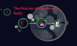The Muscles of the Human body.