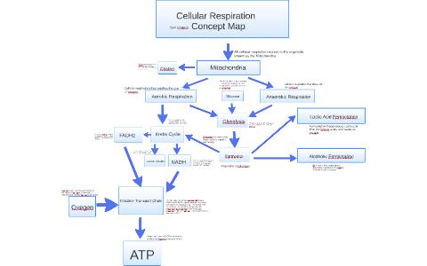 Cellular respiration Concept Map by sam czupich on Prezi on