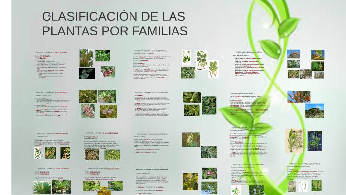 Clasificaci n de las plantas por familias by mercedes for Las caracteristicas de los arboles