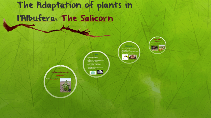 Salicorn