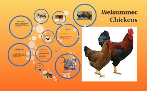 Welsummer Chickens By Kelsey Davis On Prezi