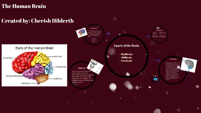 The Human Brain and Nervous System by Cherish hildreth on Prezi