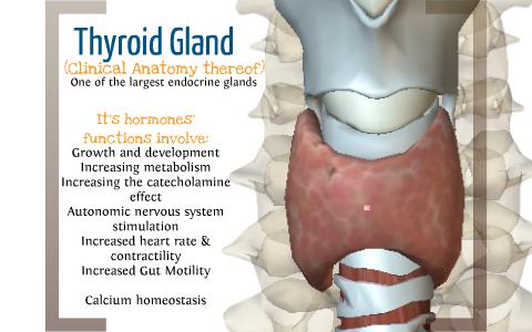 Clinical Anatomy Of The Thyroid Gland By Joshua Rubin On Prezi Next