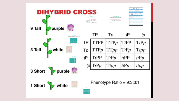 Dihybrid Crosses by Rachel Esquibel on Prezi