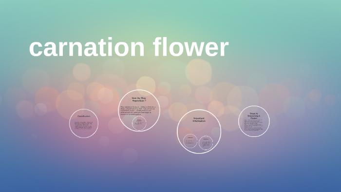 Carnation Flower By Monterio Williams On Prezi