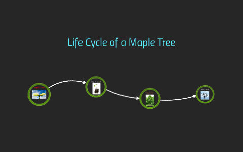 Life Cycle Of A Maple Tree By Nate Kloempken On Prezi