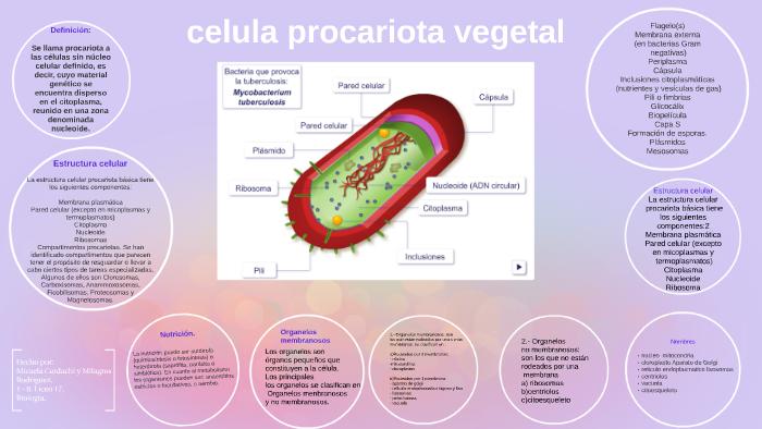 Célula Procariota Vegetal By Mery Vega On Prezi