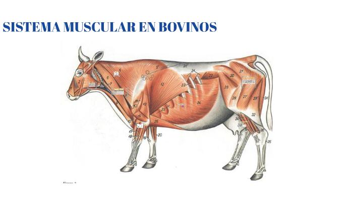 Sistema Muscular En Bovinos By Valentina Oliveros On Prezi