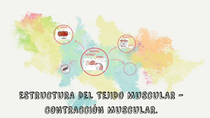 Estructura Del Tejido Muscular By Alejandra Ospino On Prezi