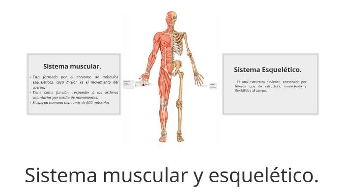 Sistema Muscular Y Esqueletico By Maria Angelica Garcia
