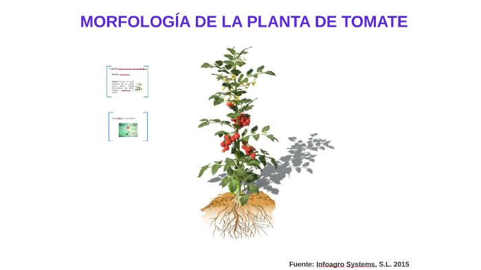 Morfologia De La Planta De Tomate By Jose Figueroa On Prezi