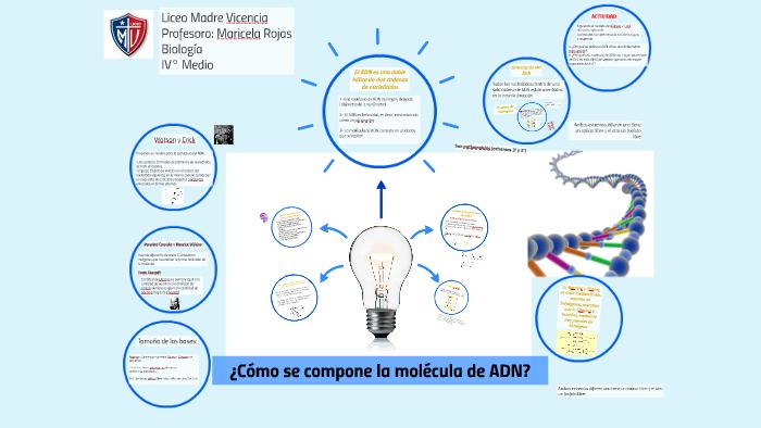 Cómo Se Compone La Molécula De Adn By Maricela Rojas On Prezi