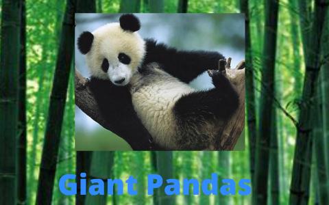 Giant Panda Presentation