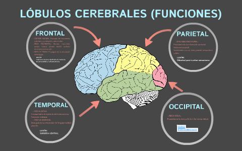 Lóbulos Cerebrales Funciones By