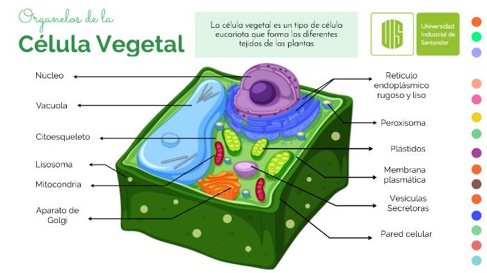 Célula Vegetal By Gabriela Landinez On Prezi Next