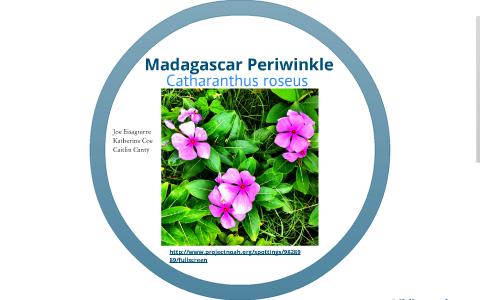 Madagascar Periwinkle by Joseph Eisaguirre on Prezi