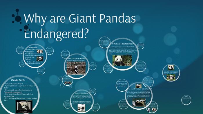 Why are Giant Pandas Endangered? by Payton Justman on Prezi