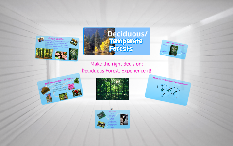Deciduous Temperate Forest Travel Brochure By Courtney Stack On Prezi