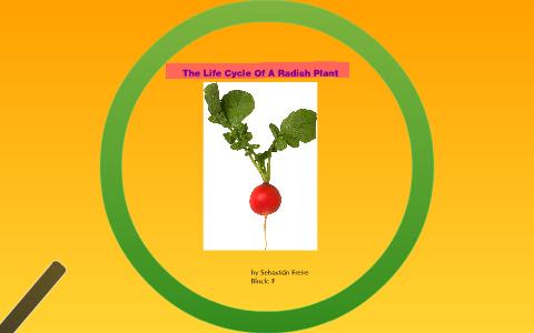 The Life Cycle Of A Radish Plant by Sebastián Freire on Prezi