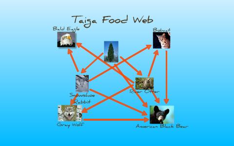food web for taiga by madison thomason on prezi