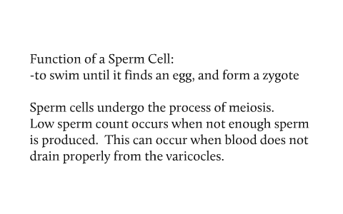 Has function of a sperm cell