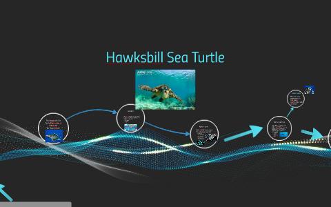 The Hawksbill Sea Turtle ( by Hope Gratzer on Prezi