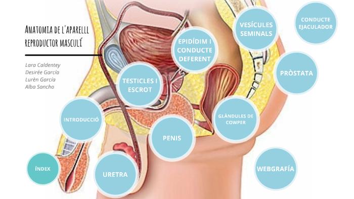 anatomia prostata netter pictures