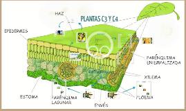 Copy of PLANTAS C3 Y C4