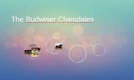 The Budwiser Clyesdales