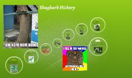Shag Bark Hickory