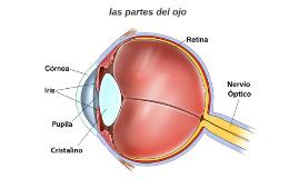 Anatomía del ojo 1.Procesos ciliares 2. Cámara posterior 3.