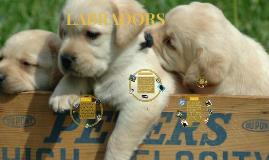 Copy of SKYLER- Labradors