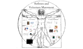 Lecture 12: Reflexes and movement