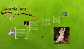 Cacatua Inca