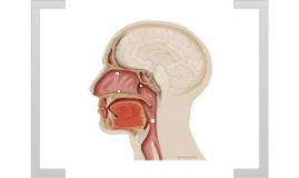 Microbiota do Trato Respiratório Superior