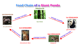 Copy of Copy of Food Chain of a Giant Panda