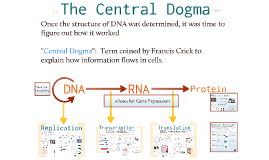 Copy of Copy of AP Bio- Molecular Genetics 2:  The Central Dogma