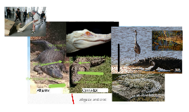 diffrence of alligator and croadial