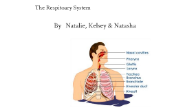 The Respitoary System