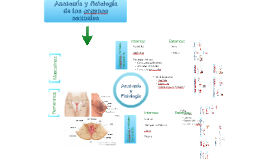 Copy of Anatomía y fisiología de los organos sexuales femeninos y masculinos (función de las hormonas sexuales)