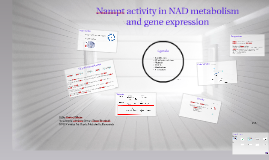Copy of Nampt in NAD metabolism and gene expression