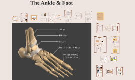 Lecture 9: Ankle & Foot