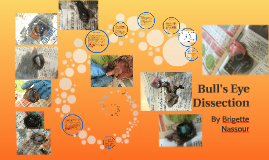 Copy of Bull's Eye Dissection