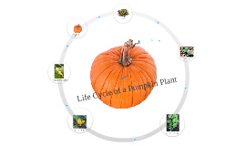 Copy of The Life Cycle of a Pumpkin Plant